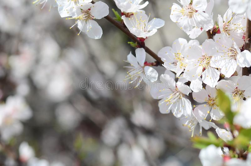 Pink Apple Tree Blossoms with white flowers on blue sky background. In Spring royalty free stock photo