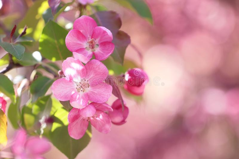 Pink apple-tree flowers on the pink background.  royalty free stock photo