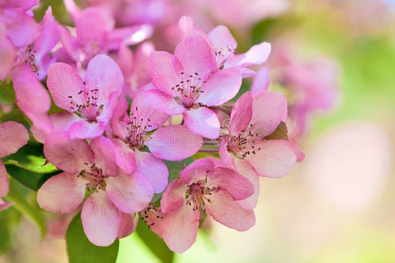 Pink apple tree flowers macro. Pink apple tree flowers on light background stock photos