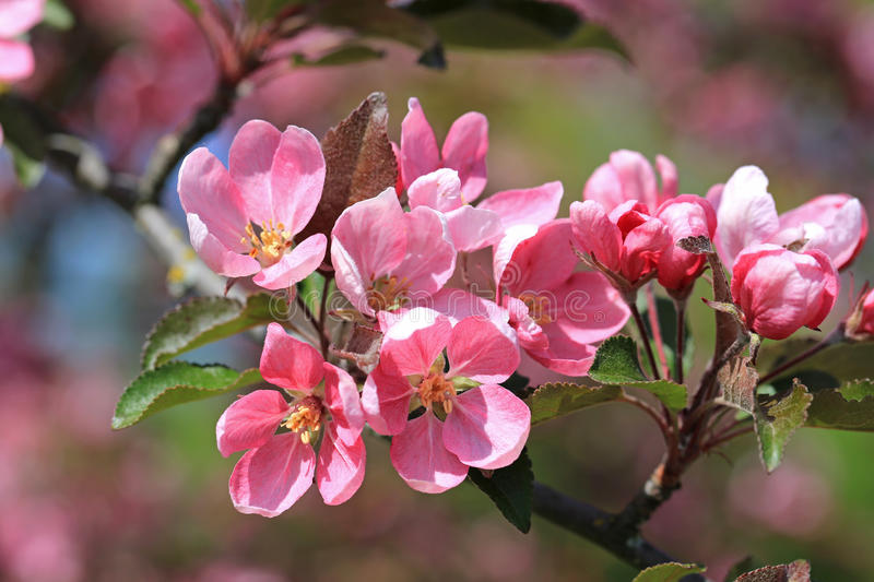 Pink Apple Tree Flowers at Spring stock photos