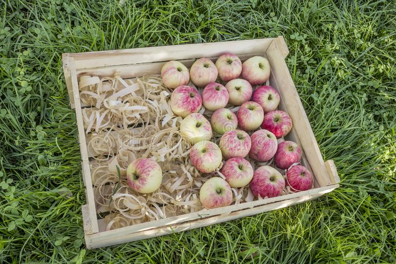 Pink apples in a wooden box with shavings. On a green lawn royalty free stock image