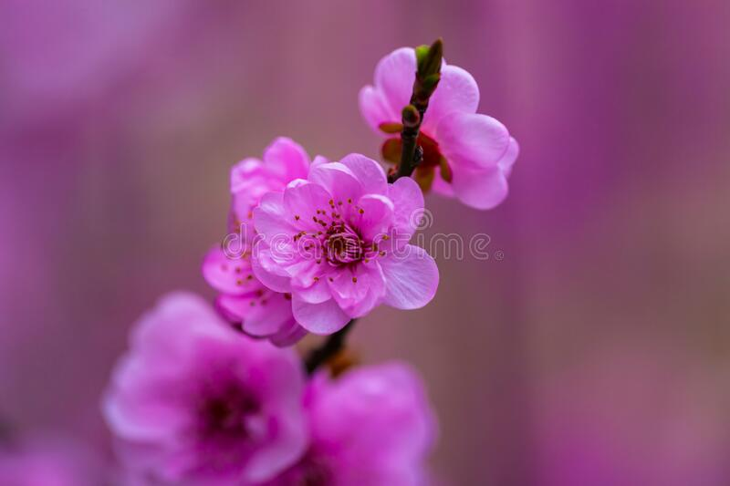 Pink apricot blossom on the branch royalty free stock image
