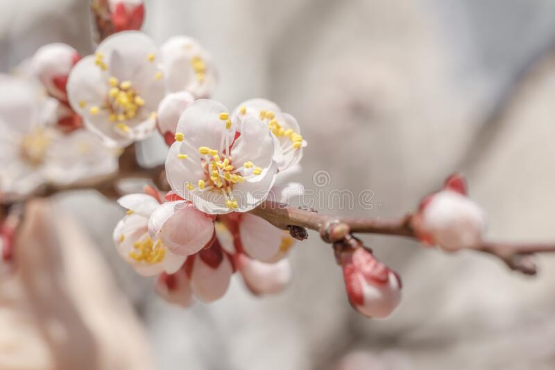 Pink apricot tree blooms in the city Park on a Sunny spring day. Beautiful scene of spring nature for a calendar, postcards on the. Easter theme. Selective stock images
