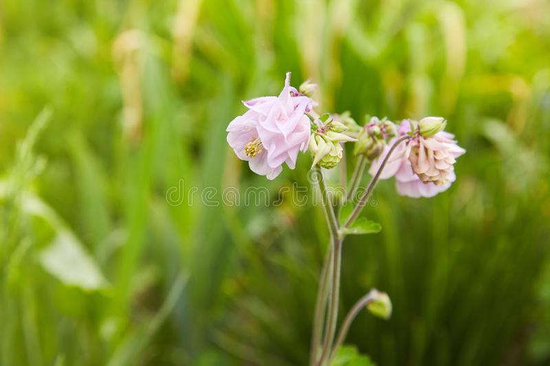 Pink Aquilegia flower on natural background, close up macro, home garden flowers. stock photography
