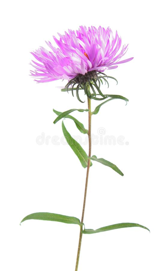 Pink aster flower isolated on white. Background stock images