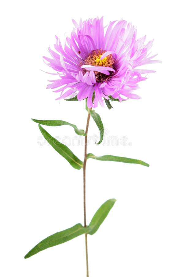 Pink aster flower isolated on white. Background stock image