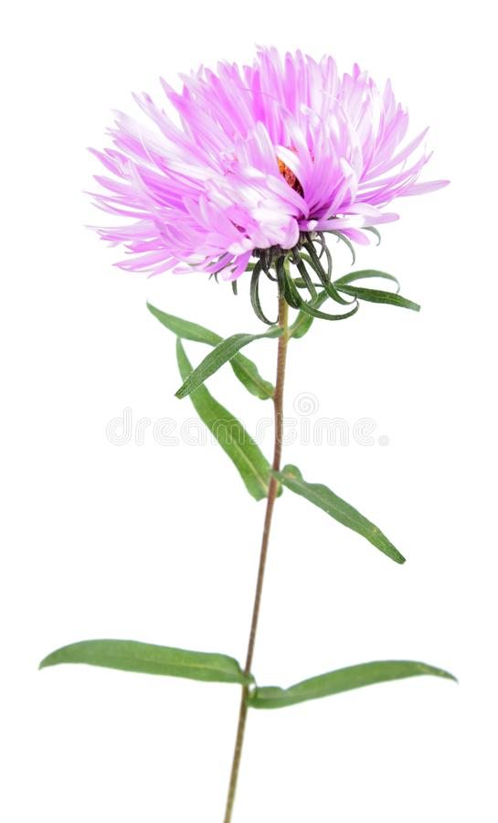 Pink aster flower isolated on white. Background stock photo