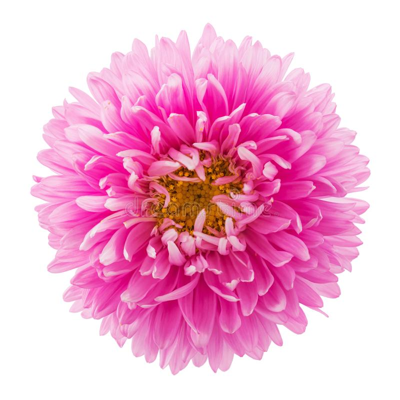 Pink aster flower isolated on white background. Macro image for greeting cards and various holidays royalty free stock photos