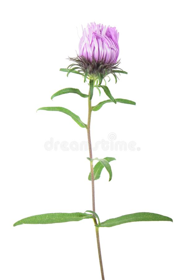 Pink aster flower isolated on white. Background royalty free stock image