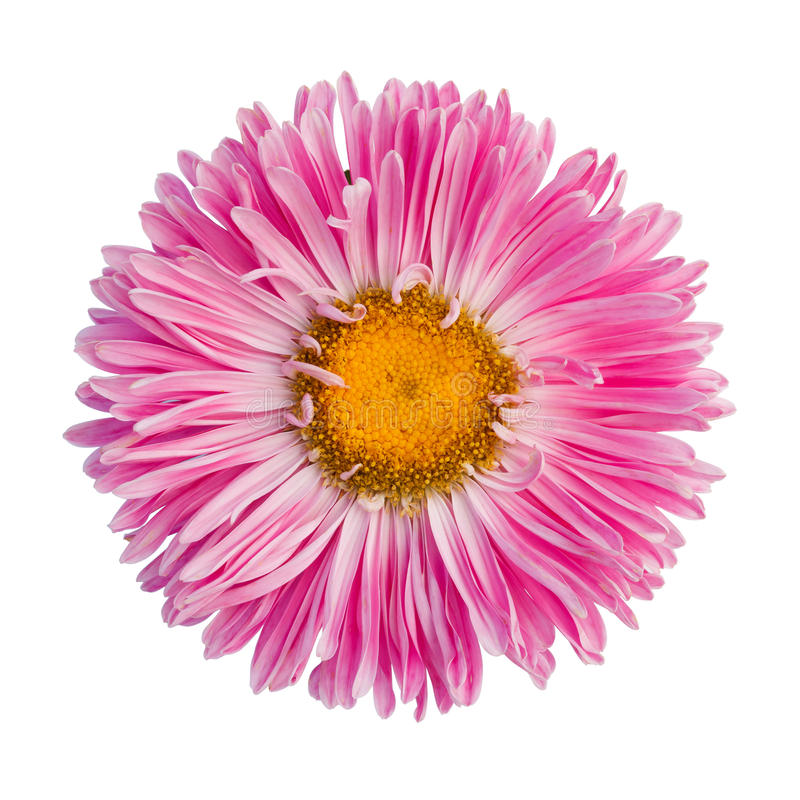 Pink aster royalty free stock image