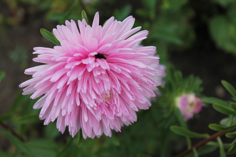 Pink aster meets the dawn in the city park. Pink aster flower on an isolated background. + royalty free stock images