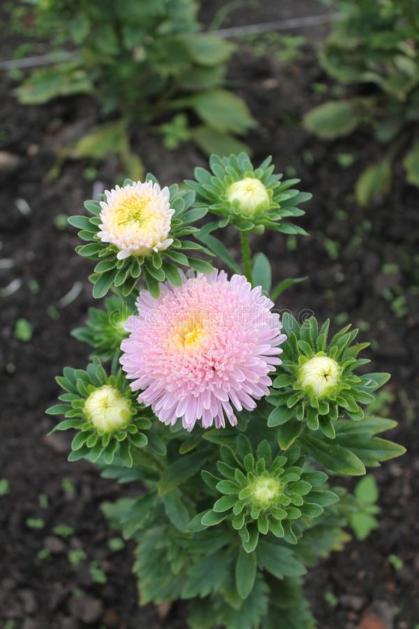 Pink aster surrounded by white buds. Pink aster on an isolated background. + stock images