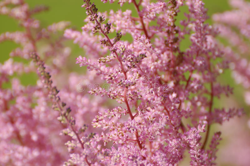 Download Pink astilbe stock photo. Image of summer, background - 10689028
