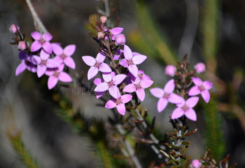 Pink Australian Native Boronia flowers growing wild. Pink flowers and buds of Australian native Boronia ledifolia, growing in heath on the Little Marley fire stock photos