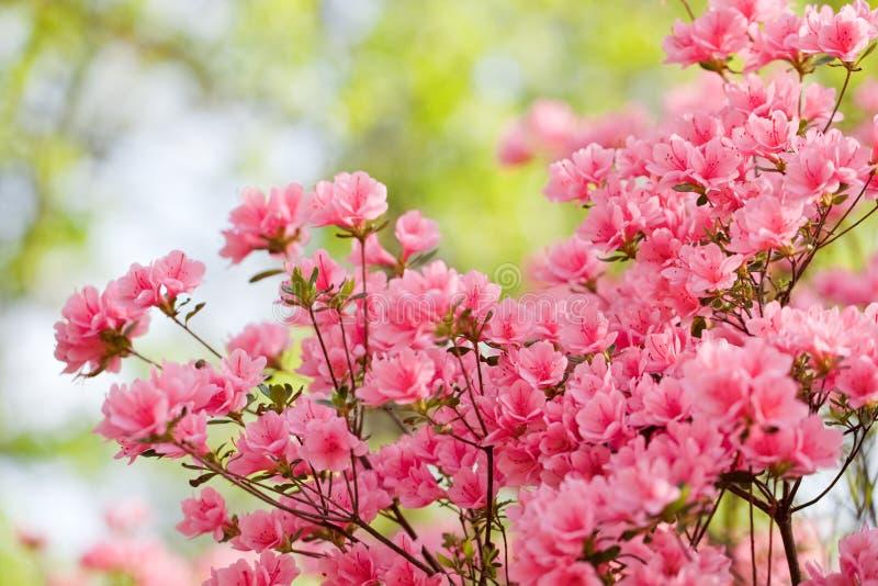 Pink azalea bush royalty free stock photos
