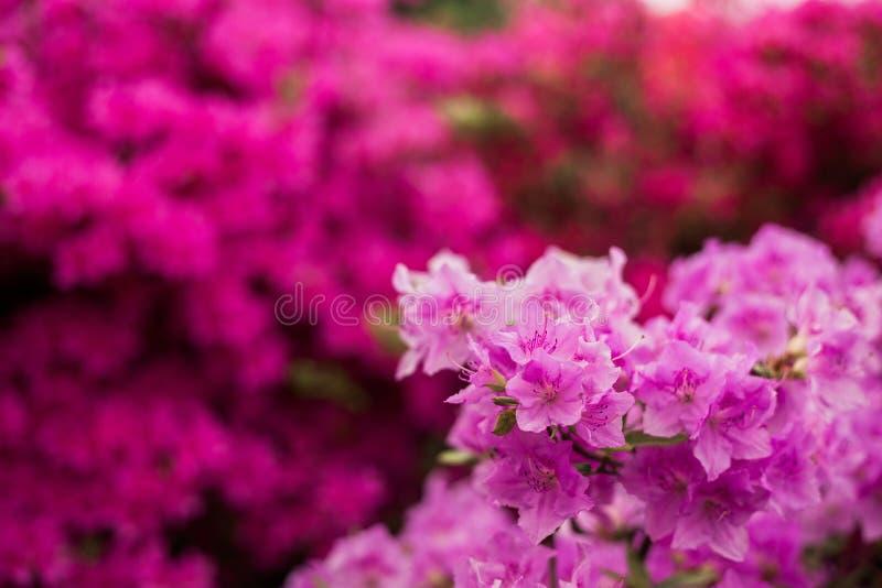 Pink azalea close-up stock images