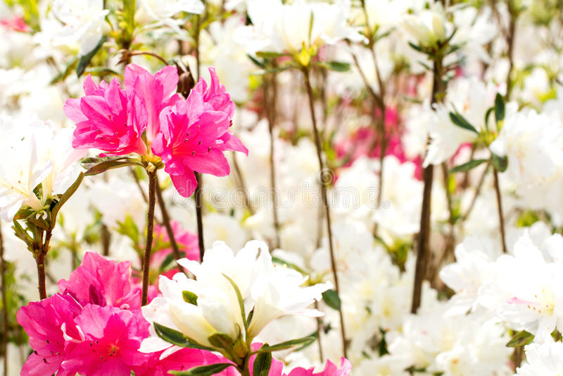 Pink azalea flower stock photography