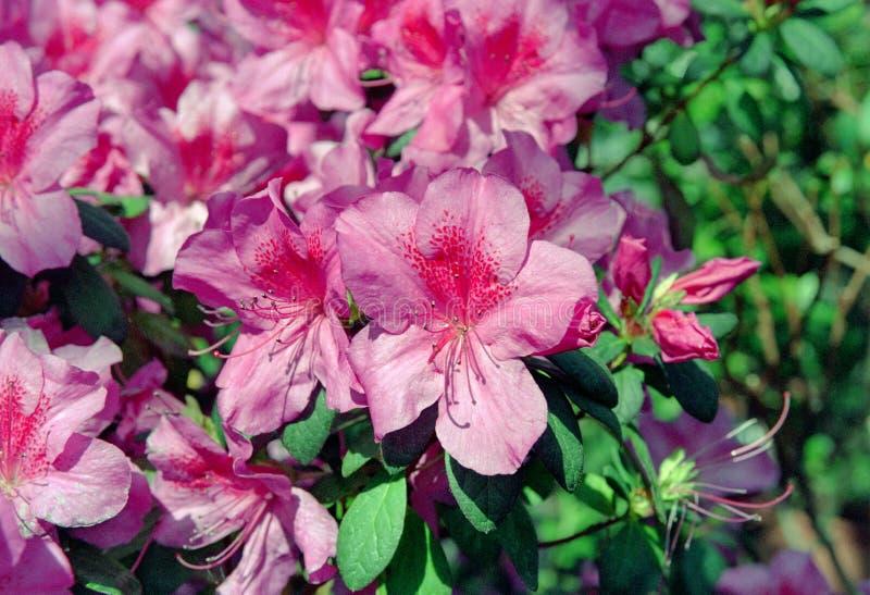 Pink azalea flowers. Close-up view royalty free stock photos