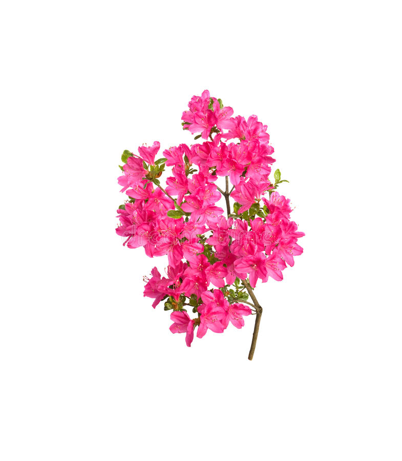 Download Pink azalea flowers stock photo. Image of blossom, flowers - 19662978