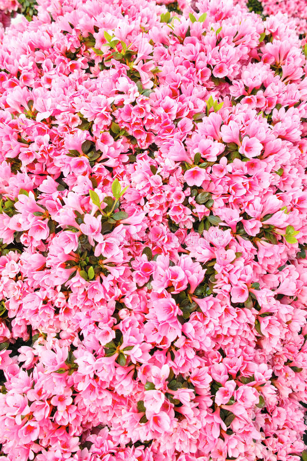 Pink azalea flowers. The background of pink azalea flowers stock photos