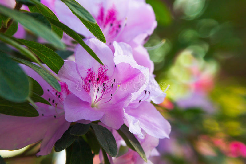 Pink Azalea flowers. Azalea blooming pink spring flowers royalty free stock images