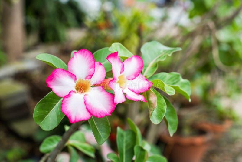 Azalea flowers. Pink azalea flowers in garden stock image