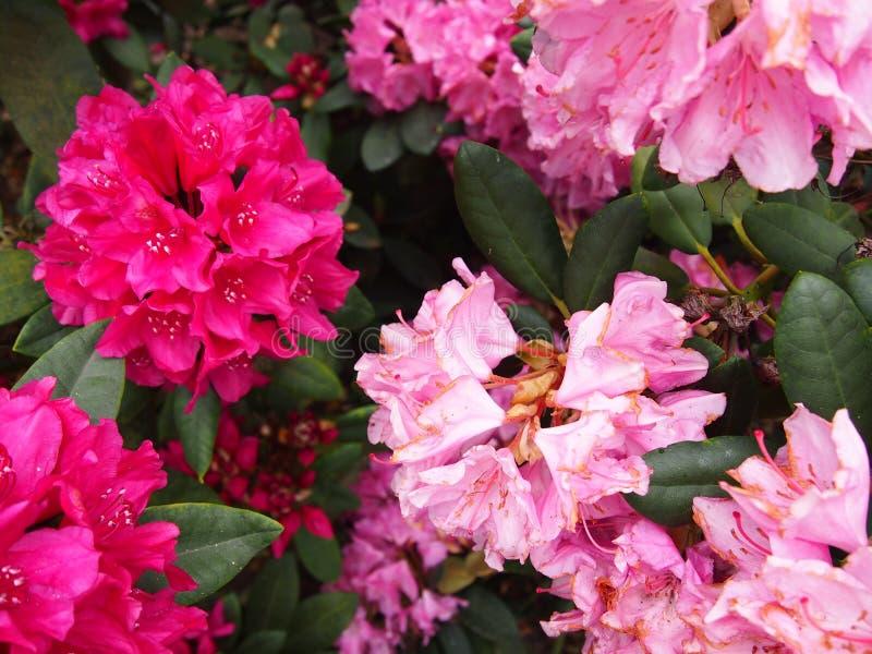 Pink azalea flowers Glinna dendrological garden, Poland, May 2019 stock images