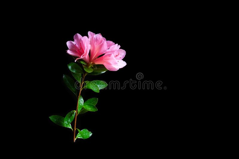 Pink azalea flowers and green leafs on black. Pink azalea flowers and green leafs isolated on black with copy space royalty free stock photo