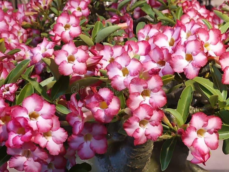 Pink azalea flowers. Pink azalea flower, blossom, flora stock photography