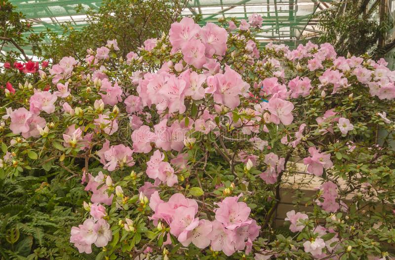 Pink azalea rhododendron royalty free stock photos