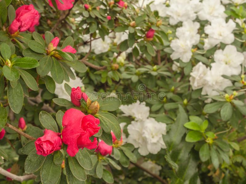 Pink azalea rhododendron stock photo