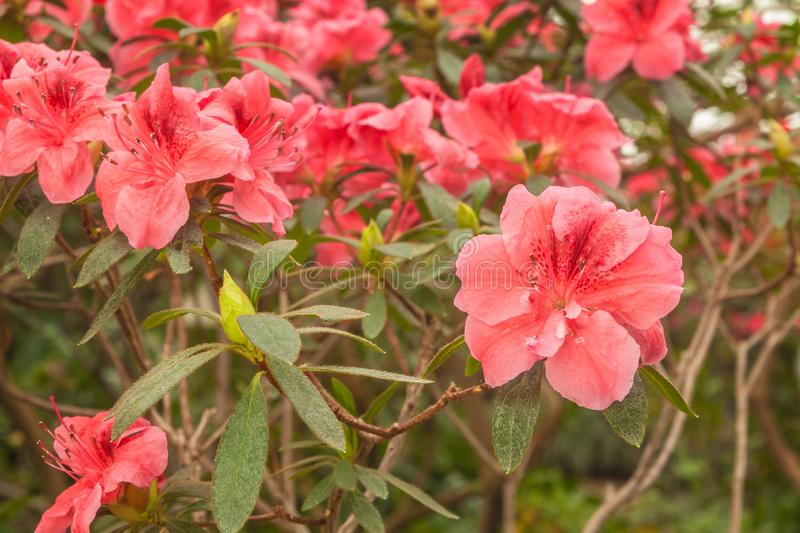 Pink azalea rhododendron royalty free stock images