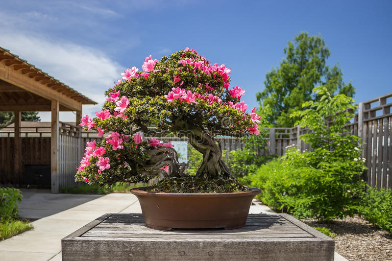 Pink Azalea (Rhododendron) Bonsai Plant royalty free stock photo