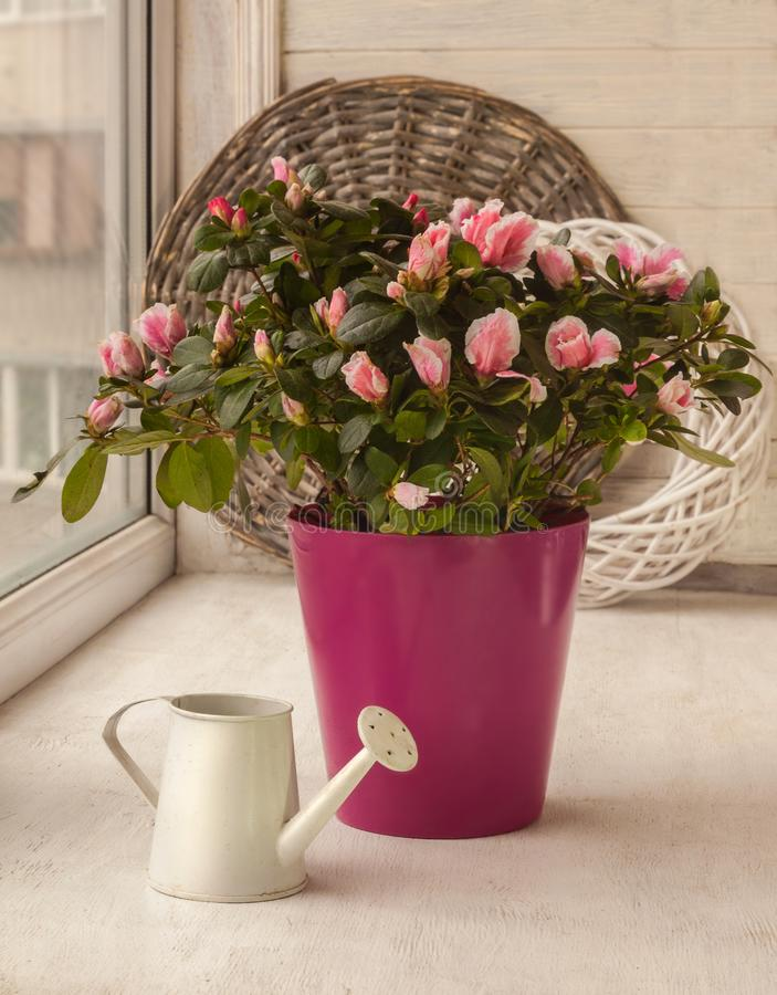 Pink azalea rhododendron in a purple pot on the window royalty free stock photography