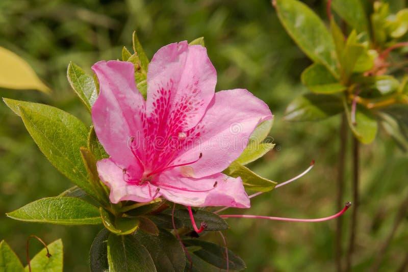 Pink azaleas blooming in spring stock photos