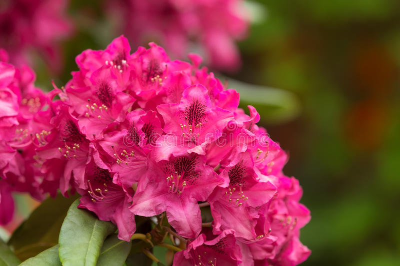 Pink azaleas blooms with small evergreen leaves royalty free stock photos