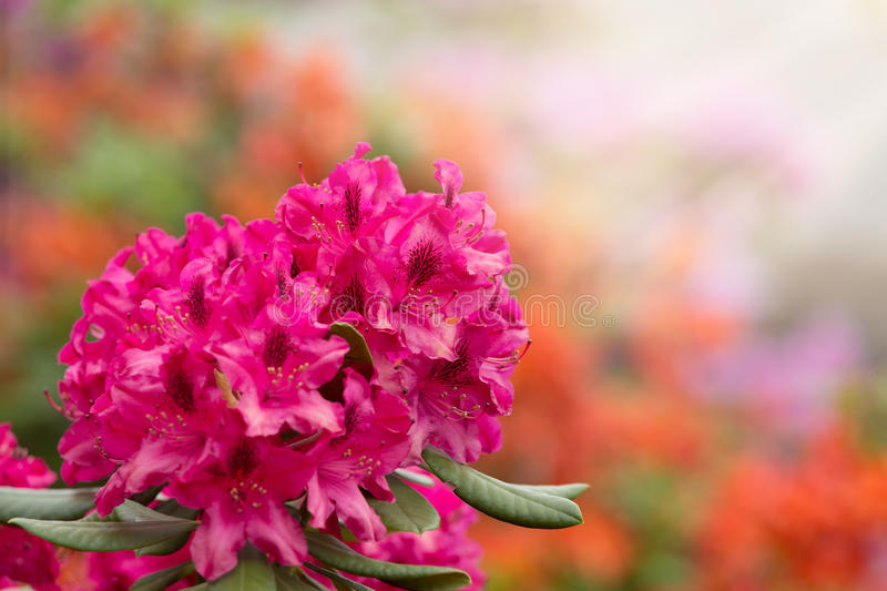 Pink azaleas blooms with small evergreen leaves stock photo