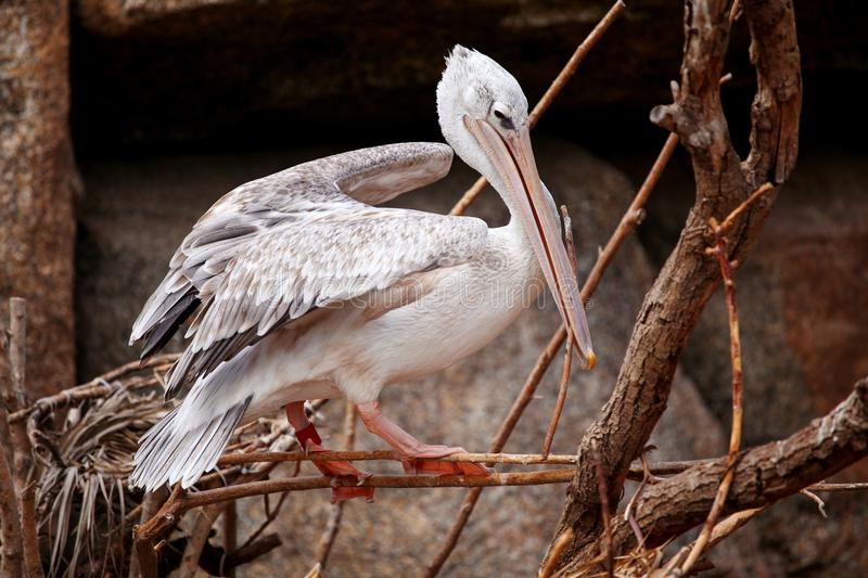 Pink backed pelican birds resting on a tree branch. Pink white backed pelican birds resting on a tree branch at the zoo royalty free stock images