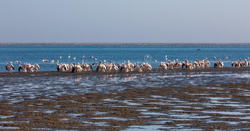 Pink-backed pelican colony in Walvis bay, Namibia stock image