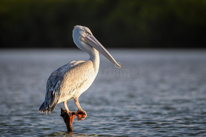Pink-backed Pelican - Pelecanus rufescens royalty free stock images