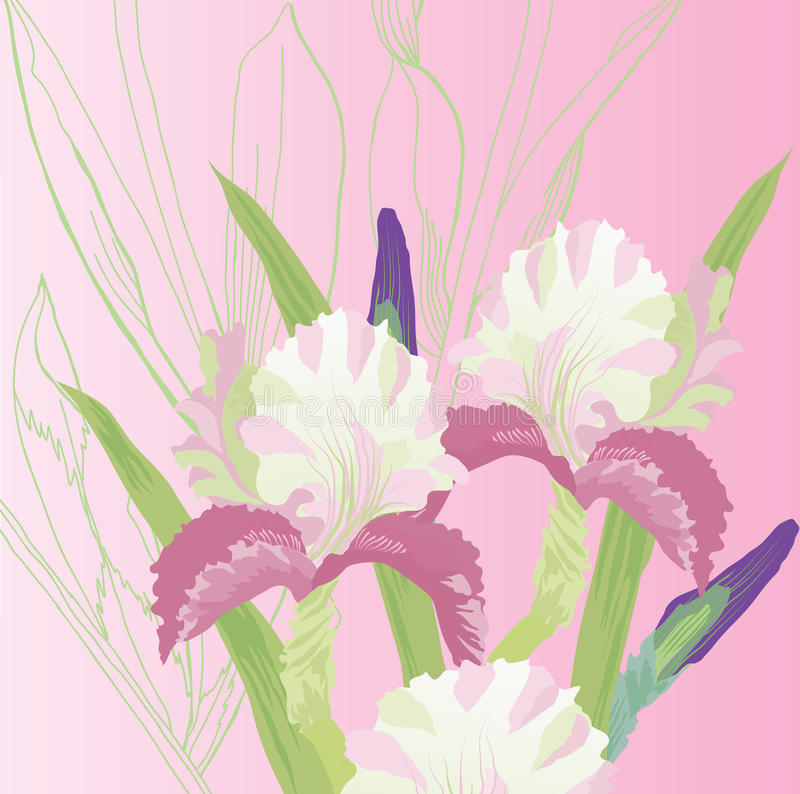 Pink Background with pink irises. Vector illustration vector illustration