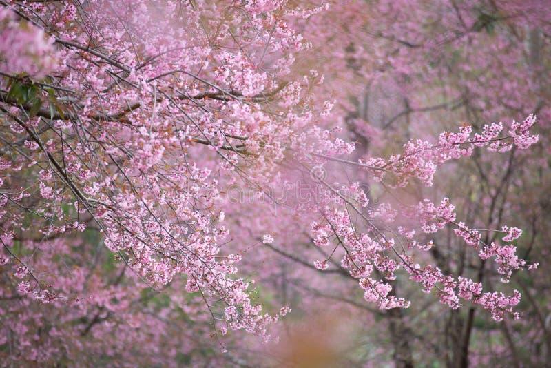 Pink Wild Himalayan cherry trees, Thailand cherry blossom stock photos