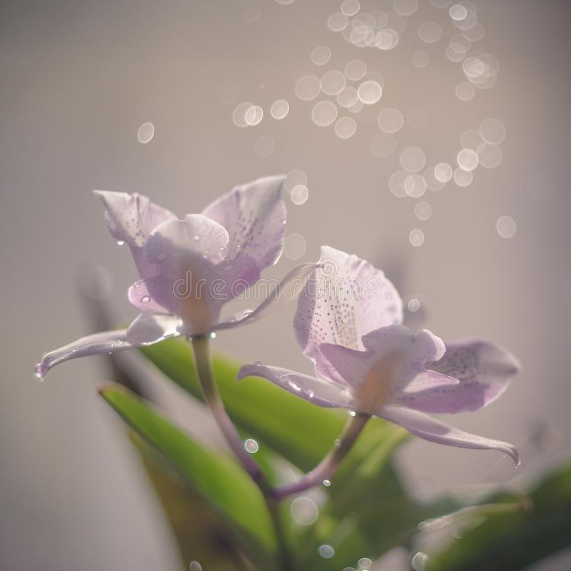 Pink backlit orchid with bokeh effect.  royalty free stock photo