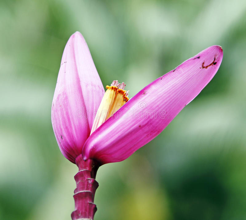 Download Pink Banana flower stock photo. Image of greenery, fragrance - 24831886
