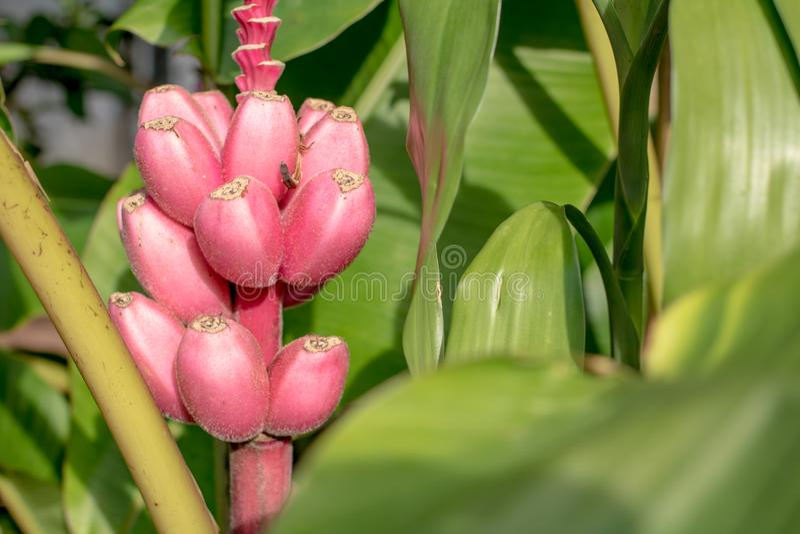 Pink banana flowering banana. Banana background black pink flowering flower blossom nature bloom botanic garden outdoor tree yellow flora greenpink style banana stock images