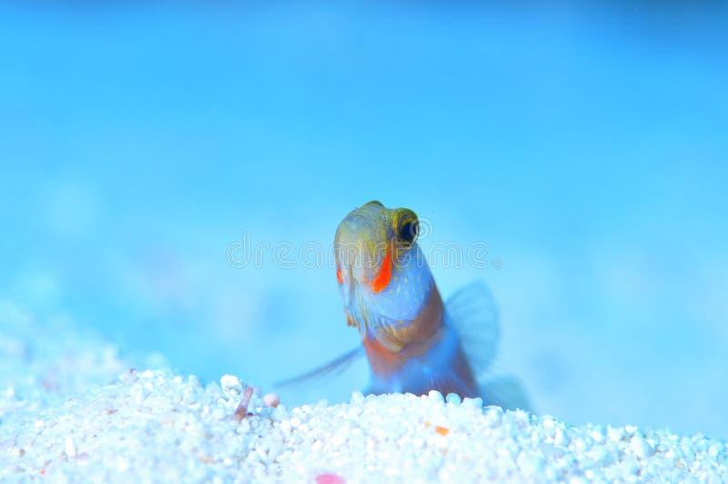 Pink-bar Shrimp-Goby stock image