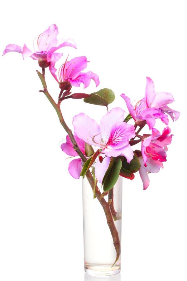 Pink Bauhinia flower royalty free stock photo