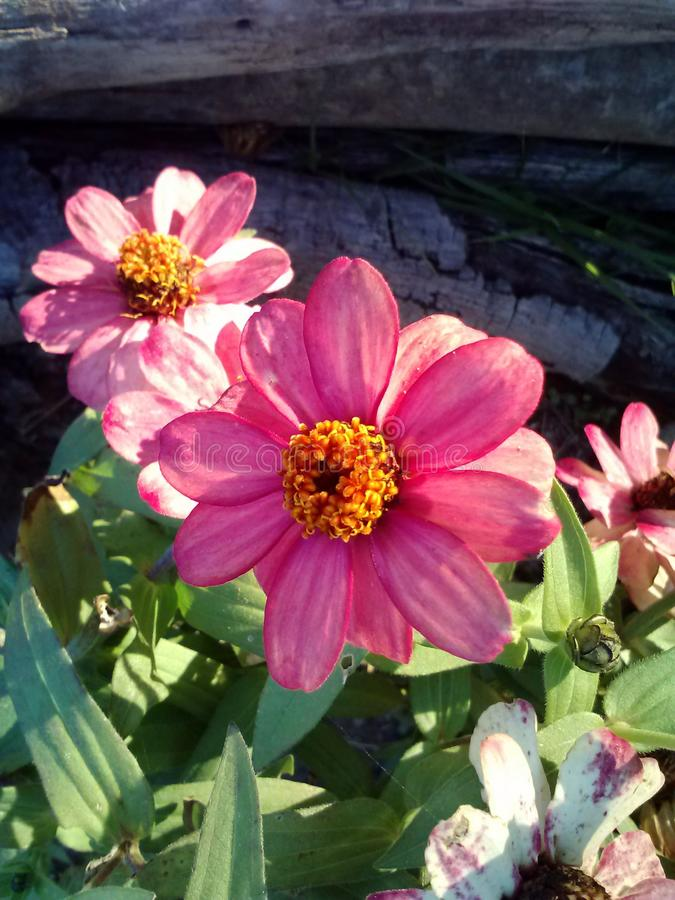 Pink Beauties. Flowers garden color nature stock image