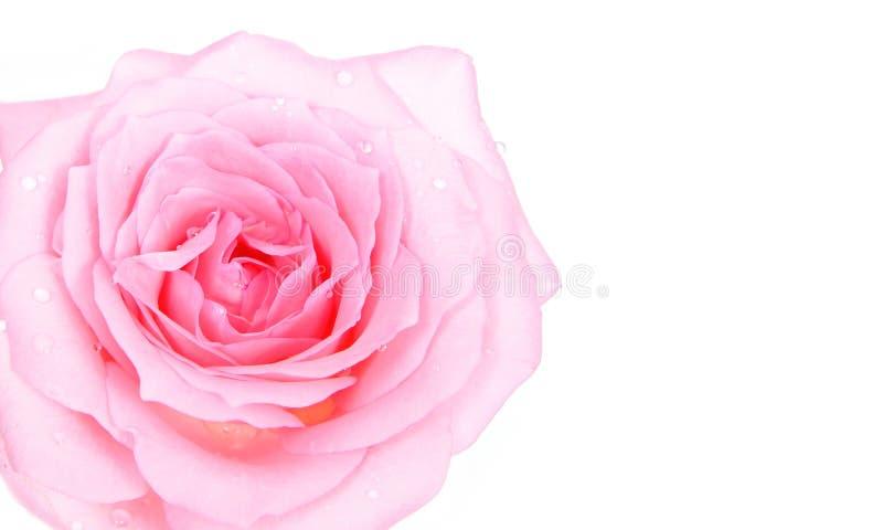 Pink Beautiful rose with water drop royalty free stock photos