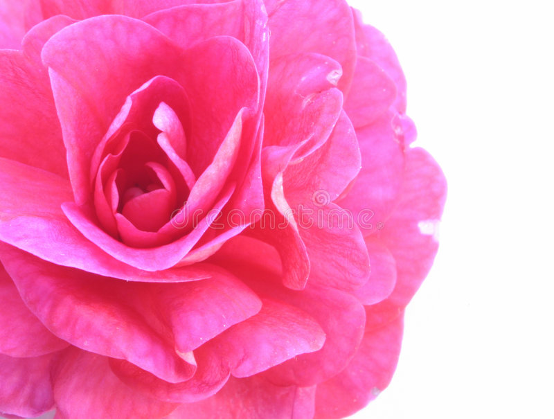Download Pink beauty stock photo. Image of isolated, buds, flower - 504612